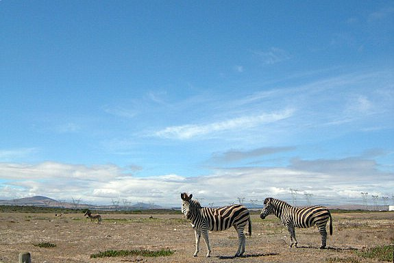 Zebra on Koeberg Nature Reserve